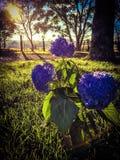 Hortensia del país Foto de archivo libre de regalías