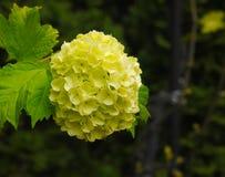 Hortensia eller vanlig hortensia i trädgård Royaltyfria Bilder