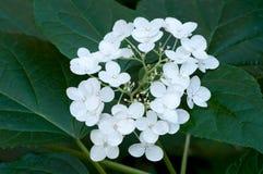Hortensia en la floración Imágenes de archivo libres de regalías