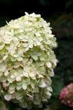 Hortensia en la floración del verano tardío fotografía de archivo libre de regalías