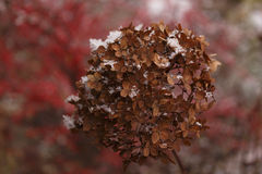 Hortensia en nieve Foto de archivo libre de regalías