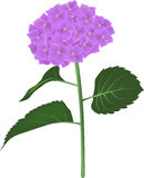 Hortensia flower Royalty Free Stock Photos