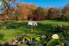 Hortensia flower Royalty Free Stock Images