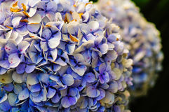Hortensia. Flower blooming in autumn Stock Photo