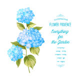 The Hortensia flower Royalty Free Stock Photography