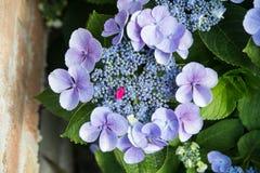Hortensia flower closeup Stock Photos