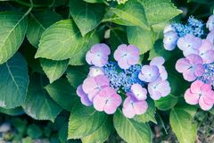 Hortensia flower and foliage Stock Image