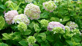 Hortensia flower green bush Stock Photos