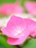 Hortensia flower (Hydrangea macrophylla). Blooming Hortensia flower (Hydrangea macrophylla) with shallow DOF Royalty Free Stock Photo