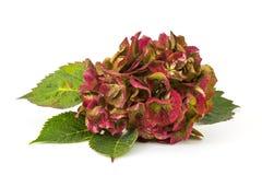Hortensia flower Stock Images