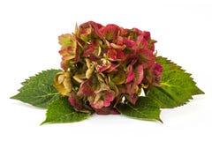 Hortensia flower Stock Image