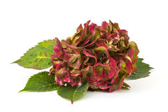 Hortensia flower Royalty Free Stock Photos