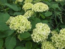 Hortensia flower. Hydrangea Hortensia flower of plantae angiosperms cornales hydrangeaceae Stock Images
