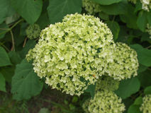 Hortensia flower Royalty Free Stock Photography