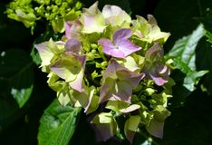 Hortensia flower and leaves Royalty Free Stock Photos
