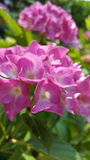 Hortensia. Flower pink royalty free stock photo