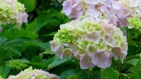 Hortensia flower rain Royalty Free Stock Image