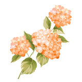 The Hortensia flower Royalty Free Stock Images