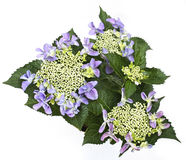 Hortensia flower Stock Images