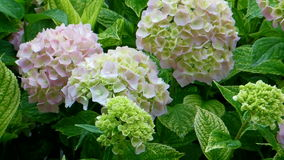 Hortensia flower wind Royalty Free Stock Image