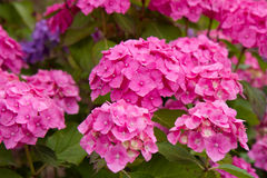 Free Hortensia Flowers Royalty Free Stock Photos - 61275488