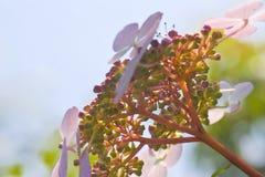 Hortensia flowers with aquareleffect. Hortensia flowers  in summer with aquareleffect Royalty Free Stock Photo