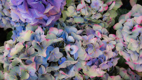 Hortensia flowers background Stock Photography