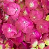 Hortensia flowers closeup Royalty Free Stock Photos