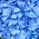 Hortensia flowers closeup Royalty Free Stock Photography