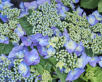 Hortensia flowers closeup Royalty Free Stock Photos
