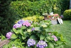 Hortensia flowers in garden Stock Photography
