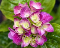 Hortensia flowers. Isolated in the garden royalty free stock image
