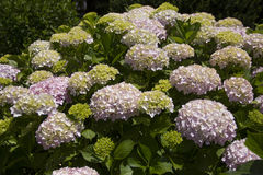 Hortensia Stock Photos