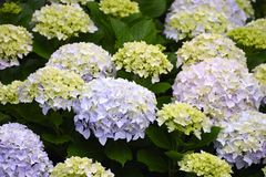 Hortensia flowers. Yellow, Purple and pink hydrangea royalty free stock images