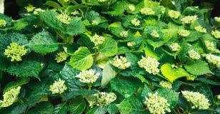Hortensia, fondo verde Foto de archivo libre de regalías