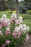 Hortensia - fresa de la vainilla Foto de archivo