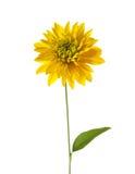 Hortensia Golden Glow Stock Image