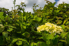 Hortensia grows on the island of Sao Miguel everywhere Stock Images