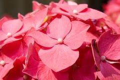 Hortensia (Hydrangea) Imagenes de archivo