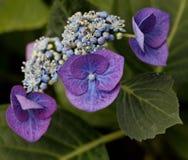 Hortensia (Hydrangea) Στοκ Εικόνες
