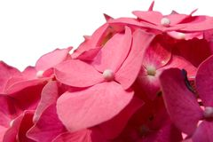 Hortensia (Hydrangea hortensia) Stock Afbeeldingen