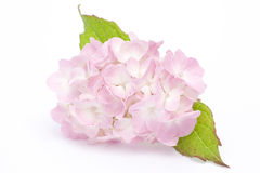 Hortensia (Hydrangea hortensia Macrophylla) Stock Fotografie