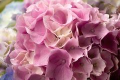 Hortensia Hydrangea Macrophylla Fotografia Stock Libera da Diritti