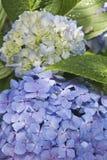 Hortensia Hydrangea Macrophylla Royalty Free Stock Images