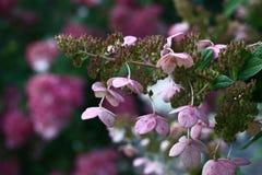 Hortensia léger dans les tons violets Images stock