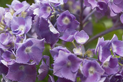 Hortensia leggero di lila Fotografia Stock Libera da Diritti
