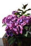 Hortensia lilás Fotografia de Stock