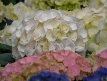 Hortensia, macrophylla da hort?nsia E Fim acima foto de stock