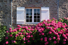 Hortensia. Magenta colored hydrangea bush in front of window and shutters in Brittany, France stock photo