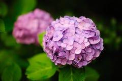 Hortensia magenta do Hydrangea fotografia de stock royalty free